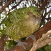Sirocco the Kakapo Parrot